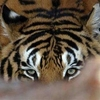 fling profile picture of SweetTigress